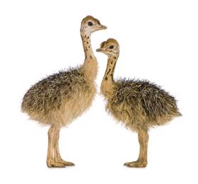 baby-emus
